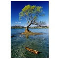 Lake Wanaka Tree Summer