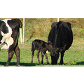 cow calf new born new zealand littleollie