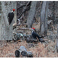woodpecker pileated bird