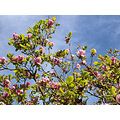 sky clouds magnolias nature naturefph