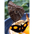 butterfly yellow brown