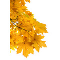 gold golden leaves fall autumn maple