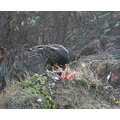 Turkey Vulture eats