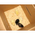 chickens chicks babies