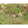 stoat wildlife scotland summer
