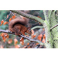 Wildlife woodland red animal