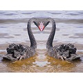 black swans animals mirrored heart love