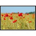 poppy poppies flowers field somerset somersetdreams worldcupfriday