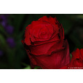 macro 2006 red rose stlouis us missouri usa plant flower