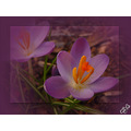 Crocus in a Purple Haze