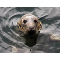grey seal mallaig harbour scotland