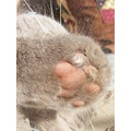 british shorthair cat feline animal mammal family pet foot paw