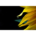 sunflower flower water drop rain
