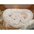 One of a kind rattlesnake. This was picked up in someone's backyard here in arizona. It is about ...
