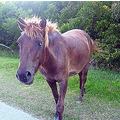 horse pony Assateague Island