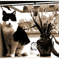 cat vinnie black and white content nice sunny flowers tulips different