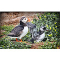 puffin chick Farne islands steveflydeals