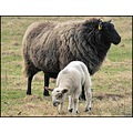 animal sheep lamb