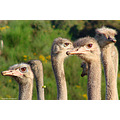 Ostriches eye contact Chain Hills Mosgiel Dunedin New Zealand littleollie
