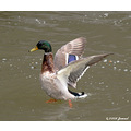 wildlife animals birds duck mallard
