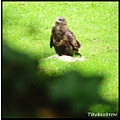 nature bird buzzard feathers rabbit