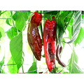 Cubanelle Pepper.  Despite the EXIF information, I shot this photo this morning before the sun ma...