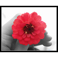 flower red black white holding emotional conceptual