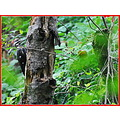 nature pilleated wood pecker north vancouver mud flats 2012 nikon d3000