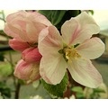 macro apple blossom flower tree