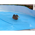 This duck decided to make itself at home first it went for a swim. Next ....