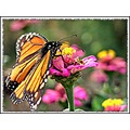 butterfly monarch orange zinnia nature insect