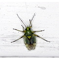 insect tiny green yellow annoying