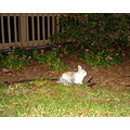 2007 december07 holidays apartment complex courtyard bunny tampa