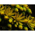 plant flowers buds yellow