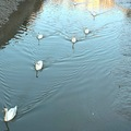 Swans Birds River Reflection