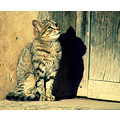 cat kitten shadow cute mexico puebla pet milibuhscatclub