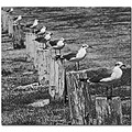 birds animals seagulls bw diagonal