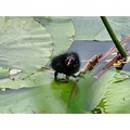 Moorhens day old chick