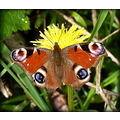 peacockbutterfly butterfly