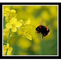 bee bumble insect fly nature yellow rape rapeseed somerset somersetdreams