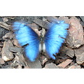 butterfly in motion blue