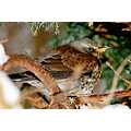 wildlife bird turdus iliacus
