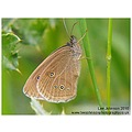 Nature Wildlife Insect Butterfly Ringlet Spideyj