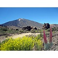 Tajanaste flower near teide
