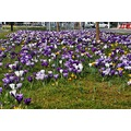 crocuses central reservation
