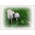 fungus coprinus comatus shaggy ink cap autumn mushroomclub