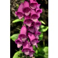 Peak District Derbyshire Foxglove