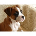dog boxer puppy