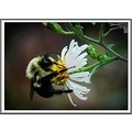 busy bee white yellow black green flower outdoors macro insect fur