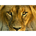 lion animal mammal nature wildlife cat feline
